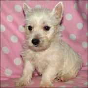 WESTIE PUPIES NOW READY FOR SALE