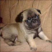 intelligent kc pug puppy seeking a new and forever home