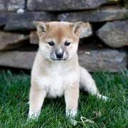 Good Looking Shiba Inu Puppies