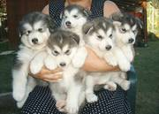 X maxs Alaskan Malamute puppies for sale